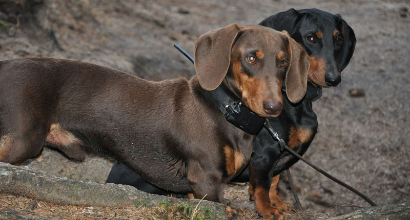 Collar adiestramiento localizador para perros Dogtrace GPS X30T